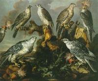 sept faucons pèlerins perchés sur des rochers avec des gants de fauconniers et des capuchons by guilliam gabron
