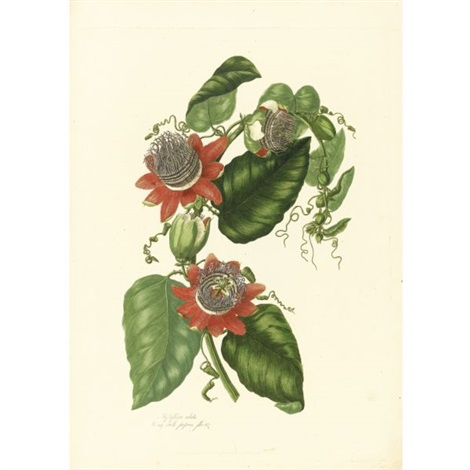 a collection of passion flowers from nature bk w 18 works folio by mary lawrance