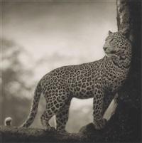 leopard in crook of tree, nakuru, 2007 by nick brandt