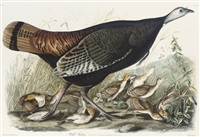 wild turkey (after john james audubon) by william home lizars
