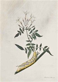 jasminum by thomas davies