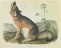 swift fox, pl. lii (from viviparous quadrupeds of north america) by john woodhouse audubon