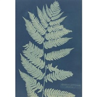 aspidium goldianum - america (from cyanotypes of british and foreign flowering plants) by anna atkins