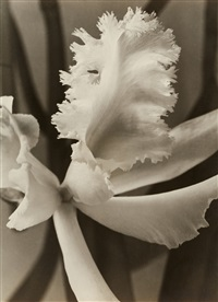 weiße orchidee (white orchid) by max baur