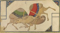a camel fight by abdullah