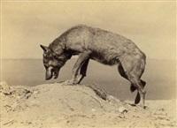 instantanés photographiques animaliers (6 works) by ottomar anschutz