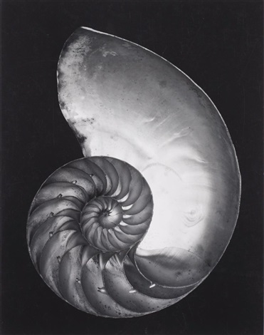 nautilus shell cross section by edward weston