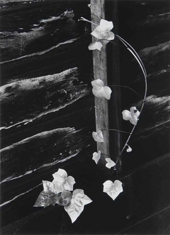 ivy portland oregon by minor white