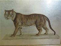 tigre by la roche laffitte