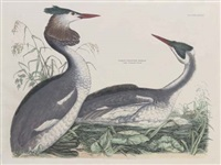 great crested grebe, pl.lxxiii (from illustrations from british ornithology) by prideaux john selby