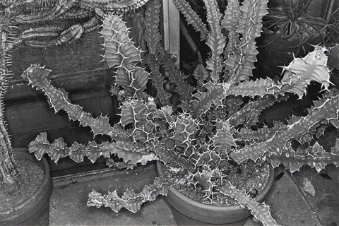 cactus brooklyn botanical garden from photographs of flowers by lee friedlander