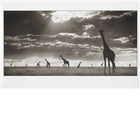 giraffes in evening light, maasai mara by nick brandt