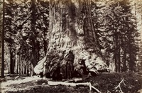 section of the grizzly giant, mariposa grove, yosemite, 1872 by eadweard muybridge