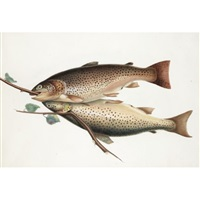 brown trout by william (sir) jardine (editor)