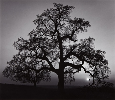 oak tree sunset city sierra foothills california by ansel adams