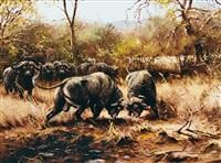 kämpfende kaffernbüffel by helmuth snethlage