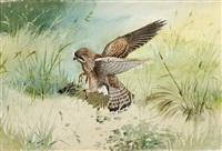 kestrel with prey by rodger mcphail