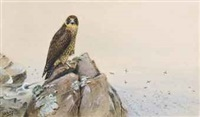 a peregrine falcon by george edward lodge