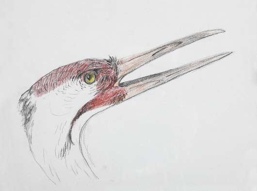 untitled crane drawing by walton ford