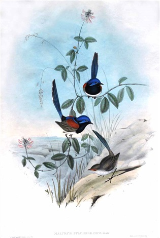 beautiful wren by john gould