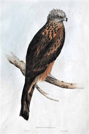 square tailed kite by john gould