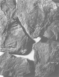 fossil leaf imprint by john collier