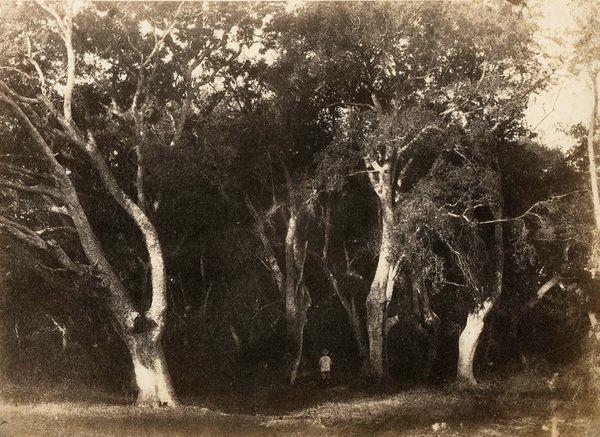 arbres dans la forêt de fontainebleau by eugène cuvelier