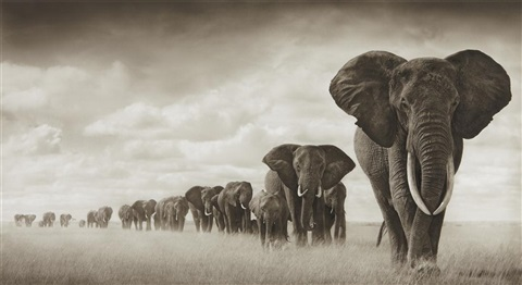 elephants moving through grass, amboseli by nick brandt
