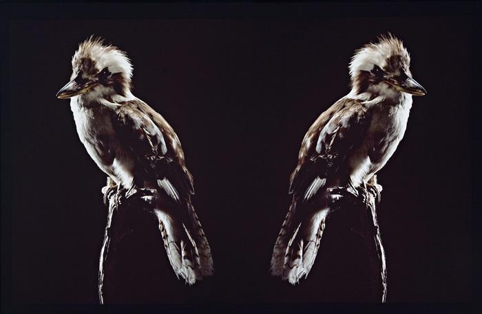 ignoratia kookaburra by brook andrew