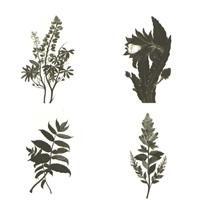 portfolio of thirteen botanical watercolors by pamela sherman