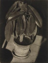 rubber plant by heinrich kühn