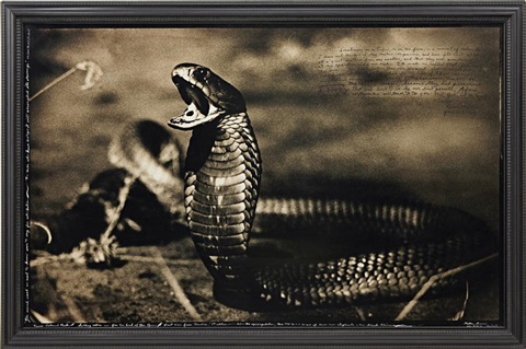 spitting cobra tsavo june by peter beard