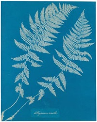 athysium molle by anna atkins