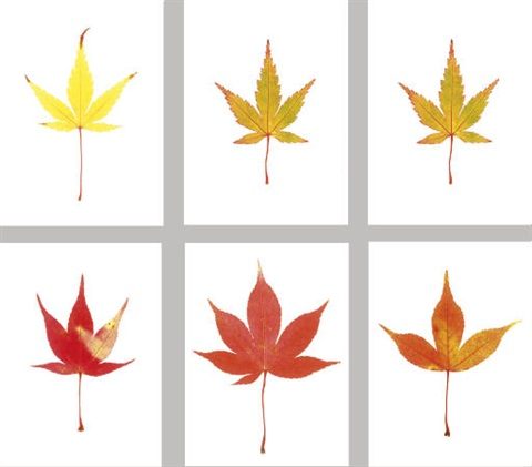 acer leaves set of 6 works by garry fabian miller