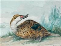 un marec assis sur la berge d'un fleuve, parmi des roseaux - anas bahmensis (canard du brésil) by aert schouman