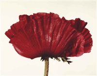 poppy: glowing embers, new york by irving penn