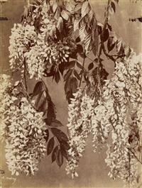 weintrauben. disteln. stockrose. goldregen. astern (grapes. thistles. hollyhock. laburnum. asters.) (5 works) by charles aubry