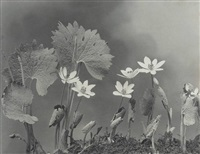 wild flowers of new england, photographed from nature, part i by edwin hale lincoln