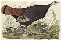 great american hen & young. vulgo, female wild turkey. melagris gallopavo. (plate vi.) by william home lizars