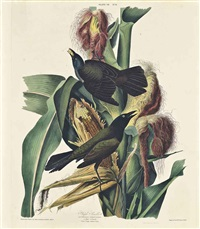 purple grackle, quiscalus versicolor (plate vii) by william home lizars