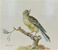 un verdier sur une branche - chloris chloris by sieuwert van der meulen