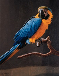 young blue and gold macaw by nicholas pace