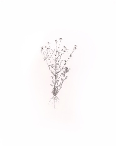 scentless mayweed, bristly ox-tongue 1 (2 works from the weed) by michael landy