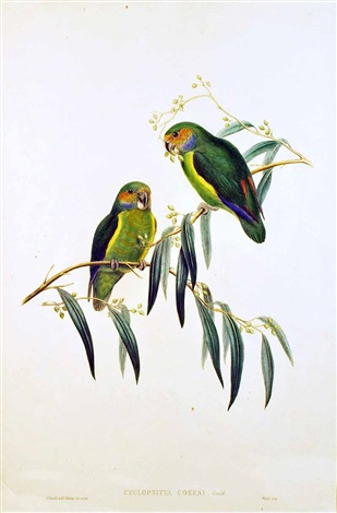 cyclopsitta coxeni (coxen's fig parrot from birds of australia) by john gould
