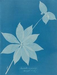 mediola arginica (bangor, u.s.) by anna atkins
