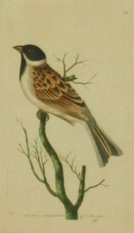 reed bunting by frederick p. nodder