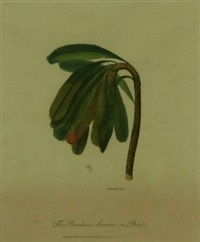 the banksia serrata in bud by frederick p. nodder