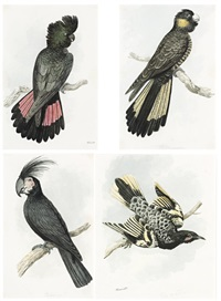 red-tailed black cockatoo..., yellow-tailed black cockatoo..., palm cockatoo..., regent honeyeater... (4 works) by william samuel howitt