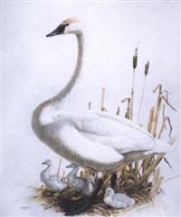 trumpeter swan by james fenwick lansdowne