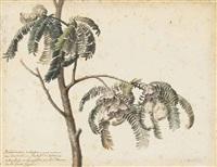 spaendoncea tamarandifolia by gérard van spaendonck